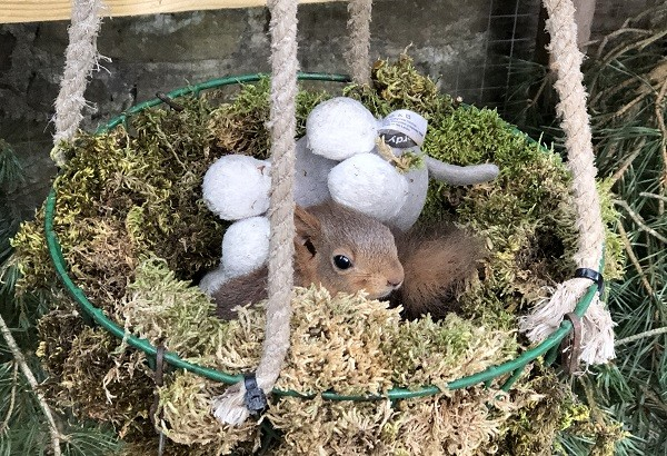 Archie kept warm in a moss nest, like the dreys red squirrels build in the wild, credit Jerry Moss