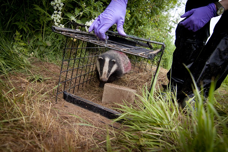 Badger release following vaccination. Photo Tom Marshall