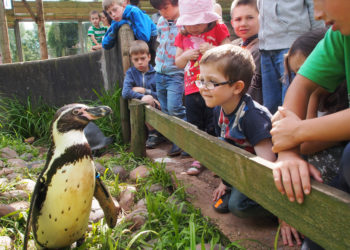 Barrow, Cumbria, England 7th August 2014. Children come fact to face with a Humboldt penguin at the South Lakes Safari Zoo