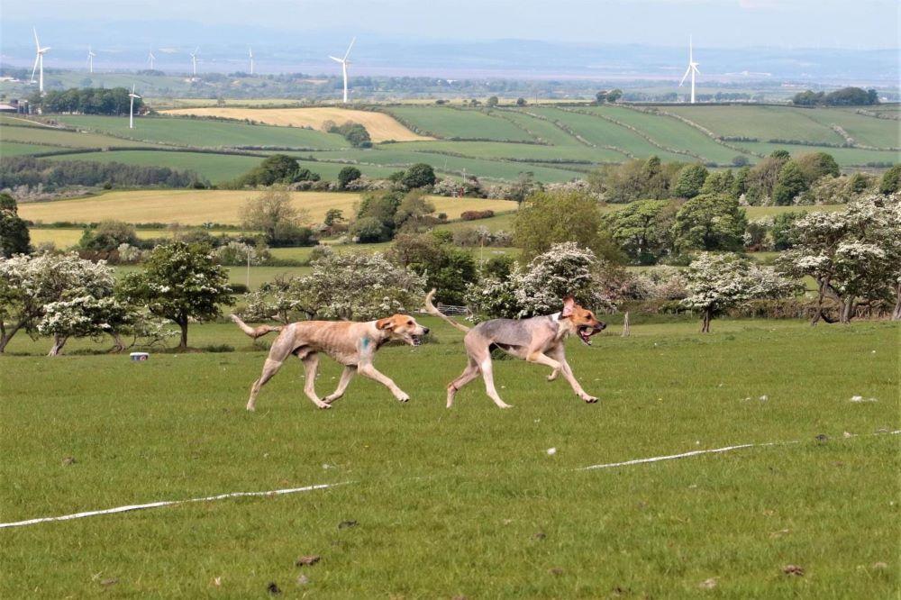 hound trailing