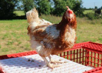 Picture: British Hen Welfare Trust