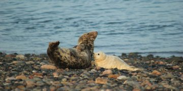 First seal pup at South Walney Nature Reserve August 2021. Picture:  Emily Baxter