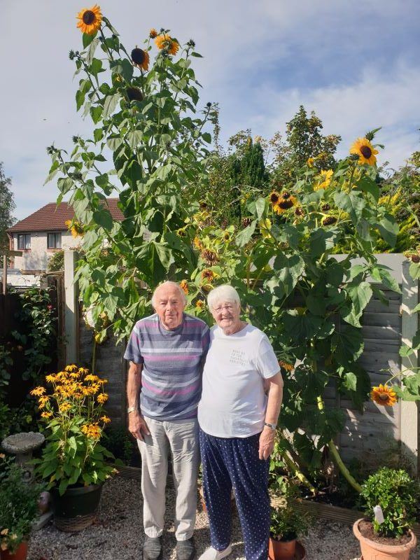 My parents Jean and Eddie Nelson of Dentonholme Carlisle standing in front of their 3.1m high sunflowers