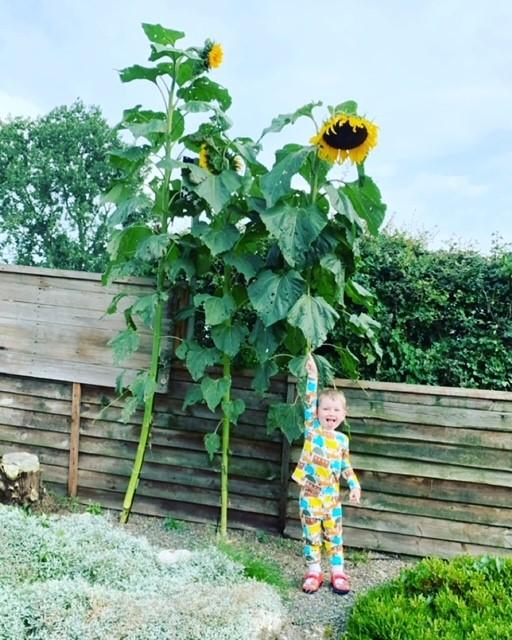 Saints-sunflower