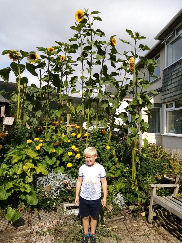 Stephen-Lightowlers-grandson-in-front-of-his-14ft-sunflower