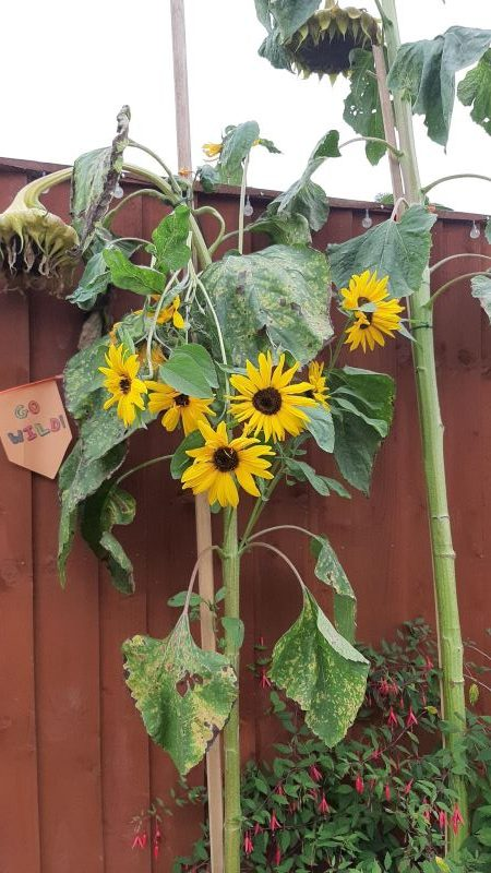 Two-year-old-Connor-Humpages-sunflowers