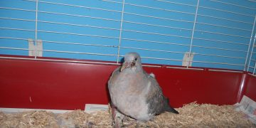 A bird with canker at Birdsea Bird Sanctuary, Ulverston.